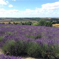 Yorkshire Lavender & Scarborough